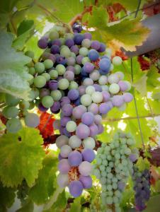 Виноград чёрный листан
